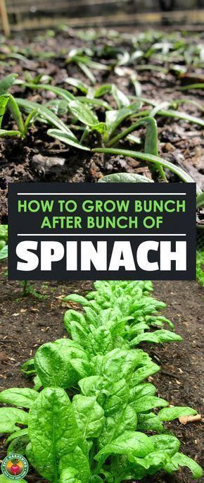 How to grow spinach the right way (2019 update)