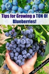 How to grow a large crop of blueberries