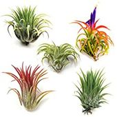 How to grow air plants (Tillandsia) and why you should