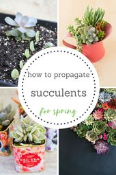 How to propagate succulents for spring