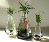 Science Set Marimo Moss Balls Air plants in glass flasks Zen Pet Mini Aquarium / Terrarium