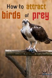 Attract these majestic birds of prey by following …
