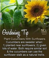 Grow cucumbers at home The best tips – The WHOot
