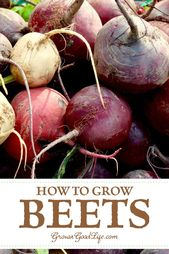 How to grow beets from seed to harvest