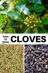 How to grow clove (Syzygium aromaticum