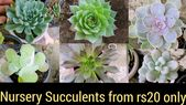 Succulents of rs 20 only, budget friendly succul …
