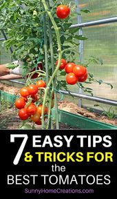 7 tips and tricks to grow huge and juicy tomatoes