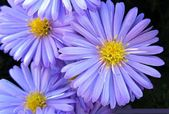 Awesome photo of purple aster flower. ""