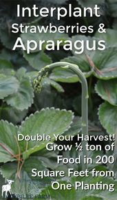 How to grow strawberries and asparagus permaculture