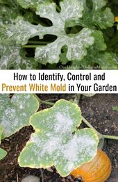 How to identify, control and prevent white mold in your garden: one hundred dollars a month