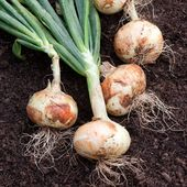 Sweet Onion, White Sweet Spanish Onion Seed, Heirloom, Long Day onion-Plant Spring or autumn!