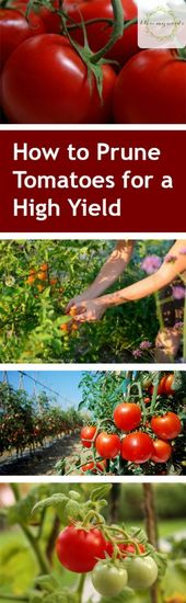 Tomato plants: how to prune for high yield